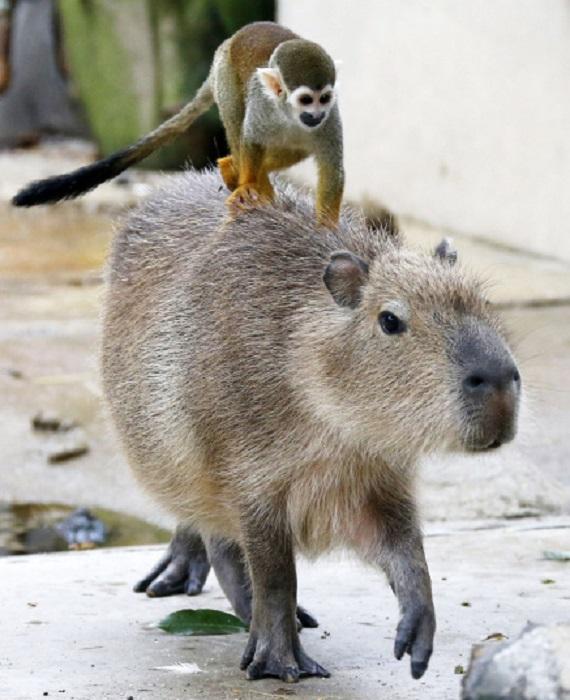 Саймири катается на спине у капибары, Зоопарк Тобу, Сайтаме, Япония.
