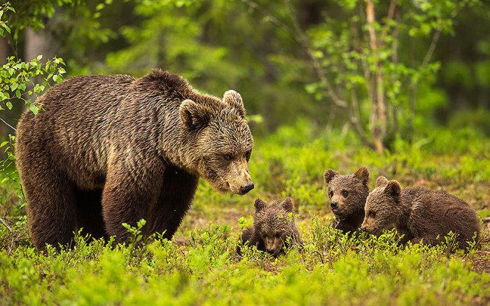 Медведица следит за своими резвящимися детёнышами в таёжном лесу на востоке Финляндии.