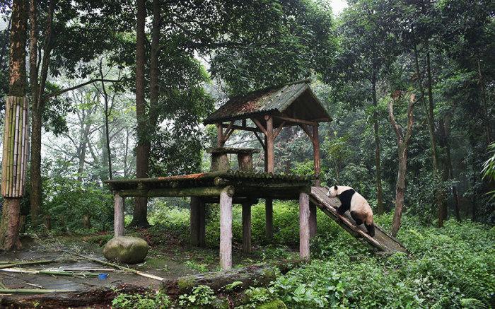 Большая панда в центре исследования панд в городе Яань, провинция Сычуань, Китай.