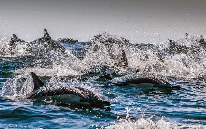 Дельфины, охотящиеся в водах Индийского океана у берегов ЮАР.