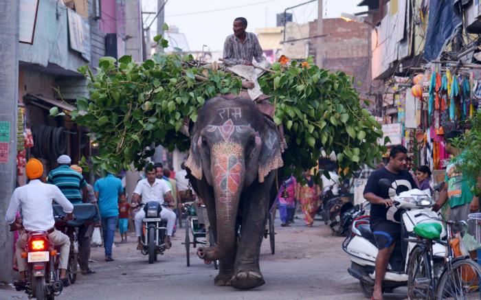 Погонщик слонов везёт ветки по улице в Амритсаре, Индия.