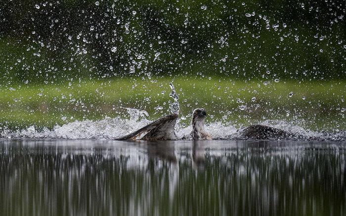 Скопа охотится на форель в Авморе, Шотландия.