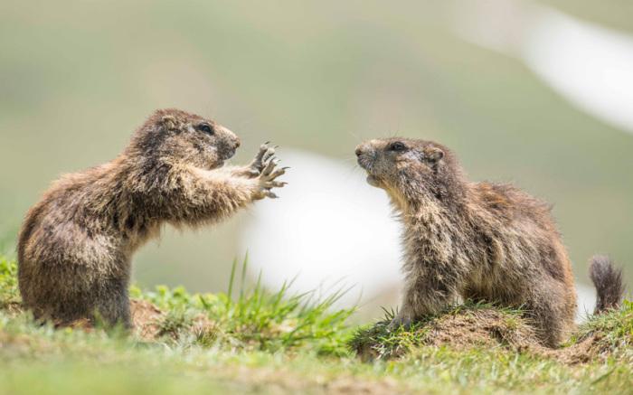 Сурки, выясняющие свои отношения в национальном парке Высокий Тауэрн, Австрия.