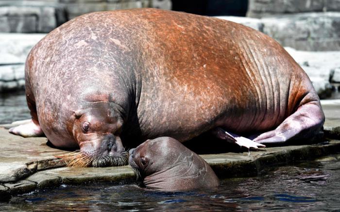 Самка моржа со своим четырехнедельным детёнышем в вольере Гамбургского зоопарка, Германия.