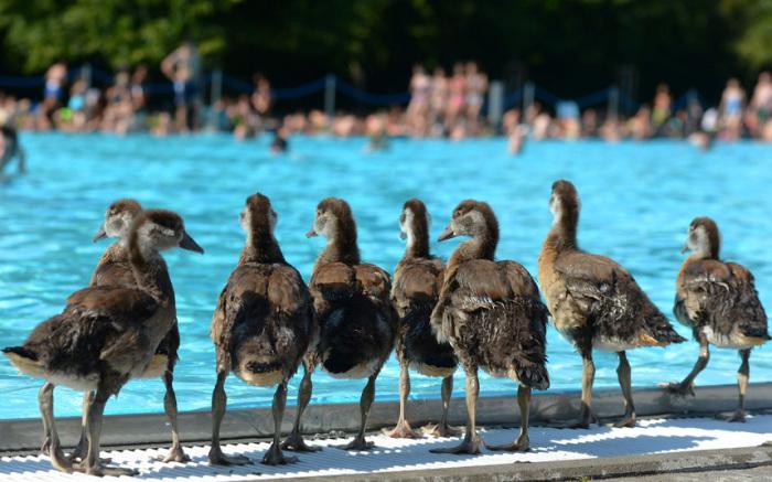 Гусята возле самого большой открытого бассейна во Франкфурте,Германия.