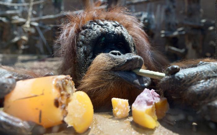 Орангутанг ест фруктовый лёд в Биопарке, Рим, Италия.