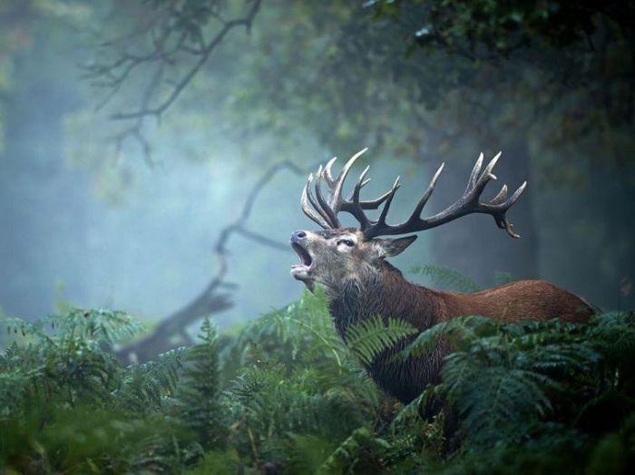 Призыв оленя, Великобритания. Фотограф: Felix Morlan Gonzalez.