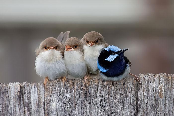 Птенцы прекрасного расписного малюра бодро сидят вместе вне гнезда, а их сияющий отец, весь день добывавший еду для своих прожорливых отпрысков, устал и прилег отдохнуть.