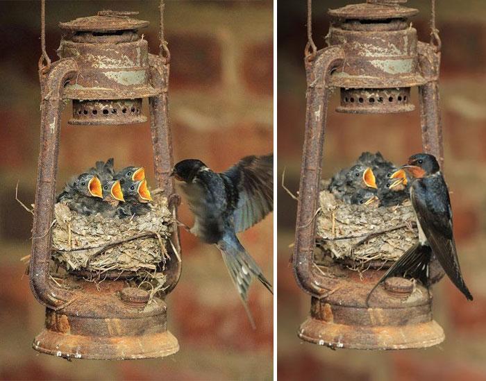 Гнездо ласточки в старой керосиновой лампе.