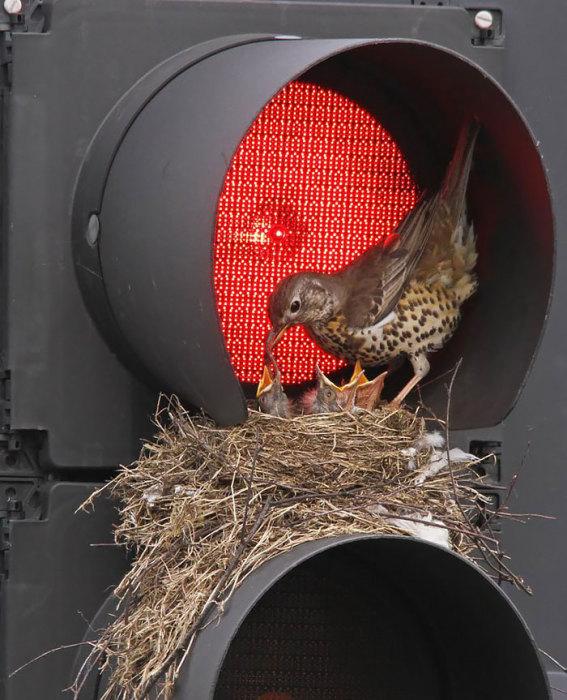 Гнездо на светофоре.