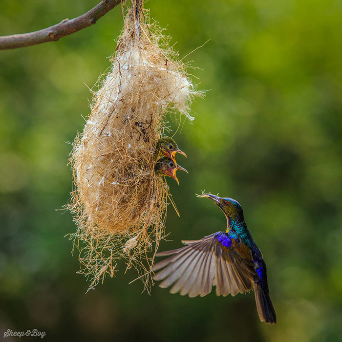 Пока птенцы остаются в гнезде, нектарницы выкармливают их почти исключительно насекомыми.