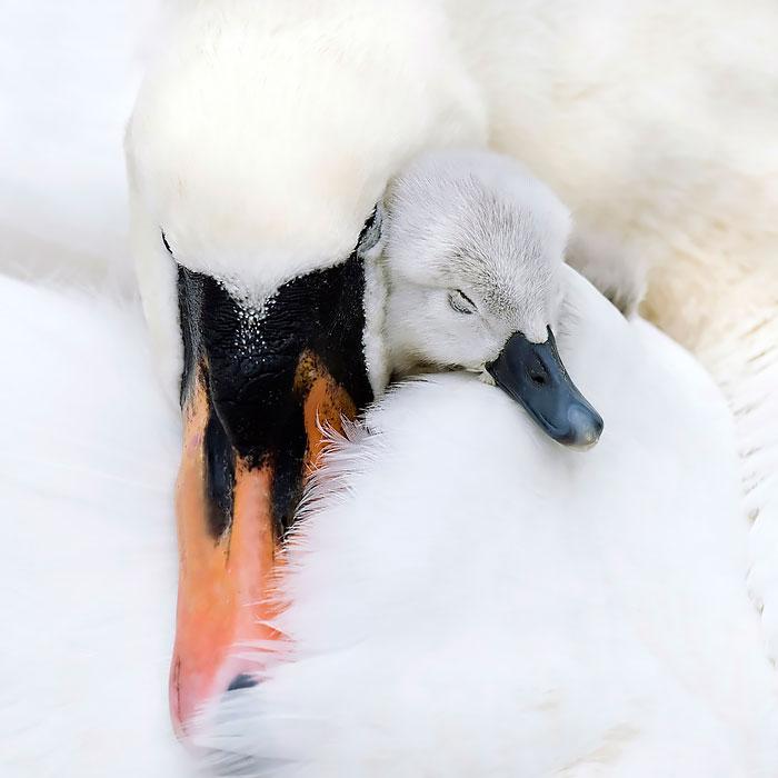 Лебедь шипун отличается наличием очень выделяющегося оранжево-красного клюва.