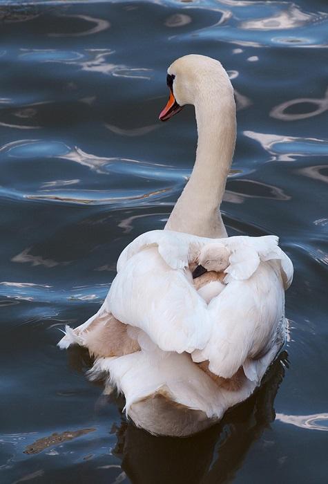 Взрослые лебеди способны летать со скоростью 100 км/ч, но они всегда стараются держаться рядом с молодняком.