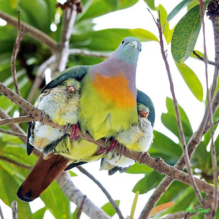 Два птенчика под крыльями матери.