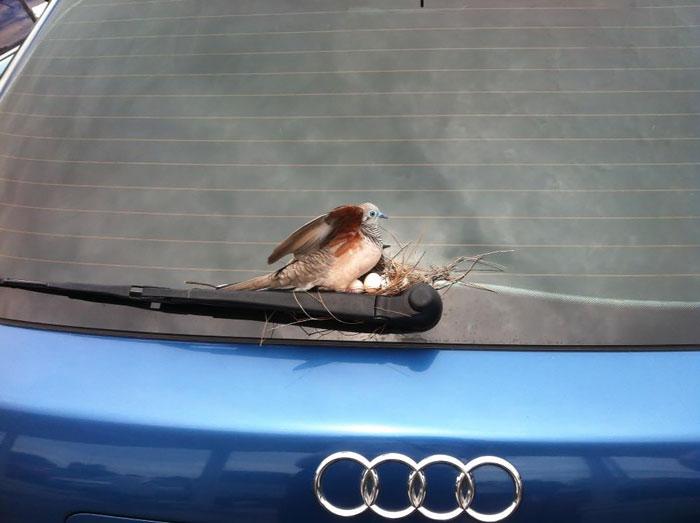 Мужчина оставил свой автомобиль на парковке на 6 дней, а когда вернулся, обнаружил на нём птичье гнездо.