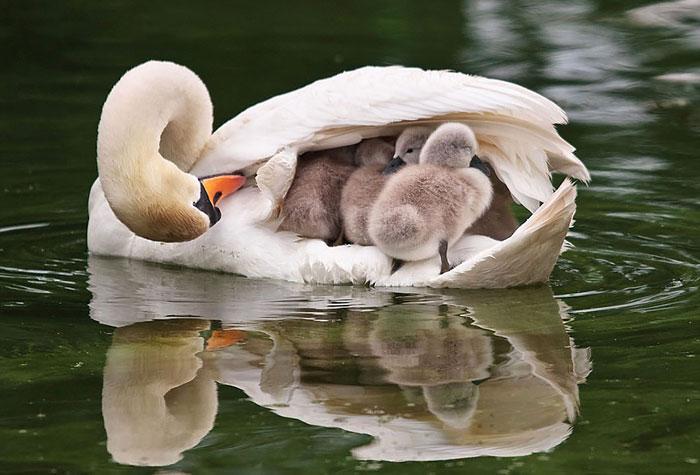Самец оберегает своих детёнышей.