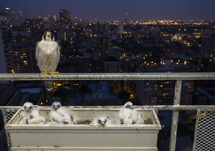 Гнездо соколов-сапсанов на 28 этаже в чикагской высотке.