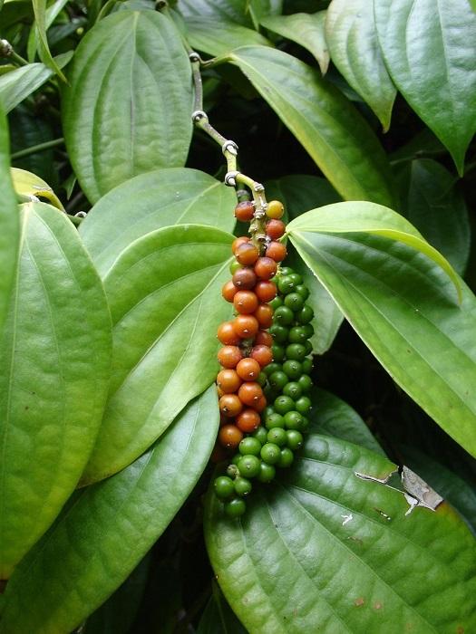 Известное и знаменитое пряное растение Востока.
