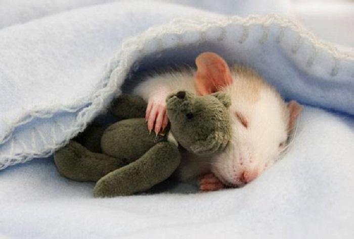 Гладкошерстный питомец спит в обнимку с любимой игрушкой.