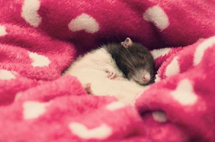 Маленькое животное любит зарываться в теплые вещи, покрывала, особенно в холодную пору.