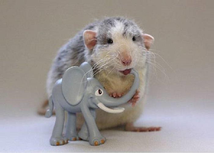 Любопытная мышь обнюхала с ног до головы игрушку и попробовала ее на зуб.