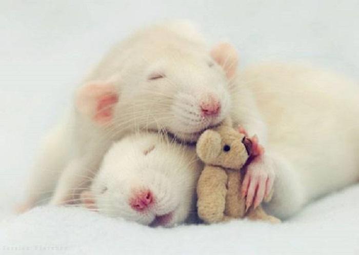 Крысеныши спят после сытного ужина.