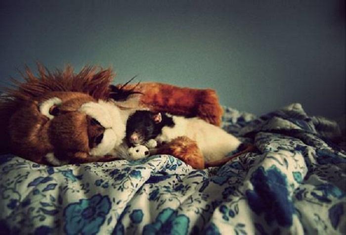 Мышки любят бегать по кровати и знакомиться с территорией своего хозяина.