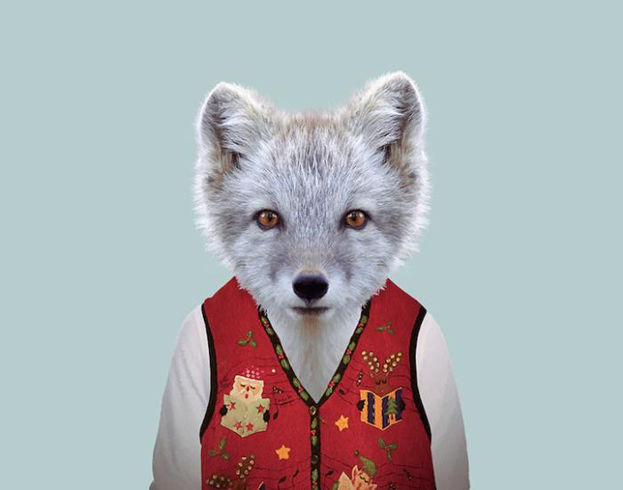 Хищная полярная лисица.