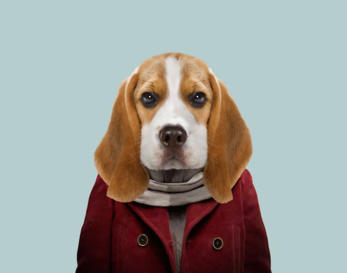 Гончая собака с независимым дружелюбным характером.