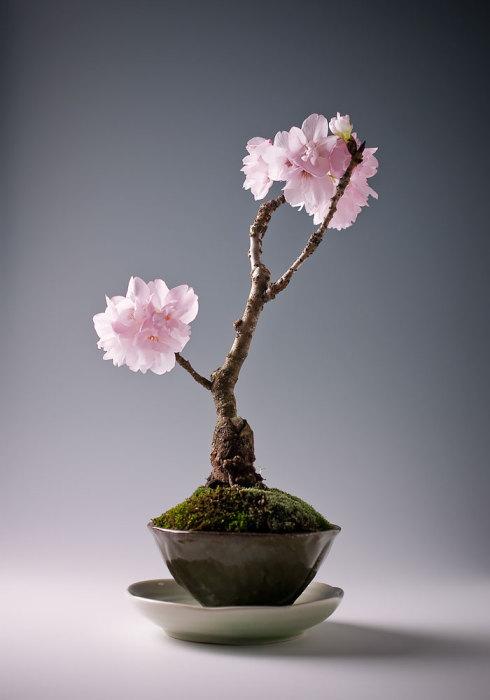 Восточно-азиатская вишня в миниатюре.