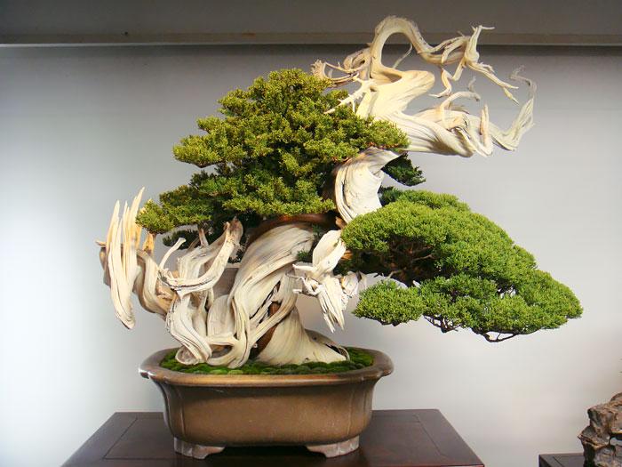 Любое дерево бонсай может прожить более 100 лет.