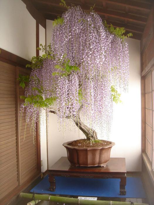 Глицинии бонсай ценится из-за душистых цветов, которые распускаются на ветвях.