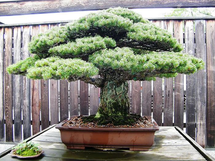 Дерево выжившее в Хиросиме передано в дар Национальному музею в Вашингтоне.