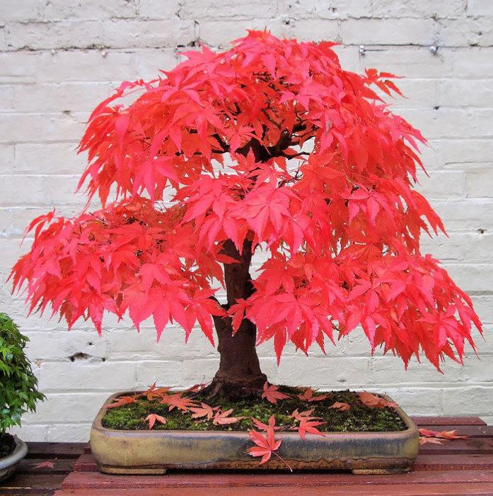 Один из самых популярных видов деревьев бонсай.