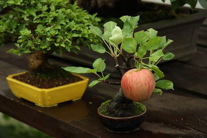 На бонсай яблоне растет полноразмерное яблоко.