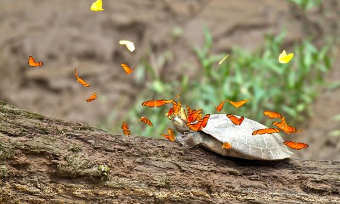 Бабочки забираются на рептилию чтобы напиться её слезами.