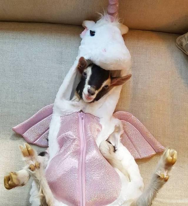 В гардеробе козочки имеется немало оригинальных костюмов животных.