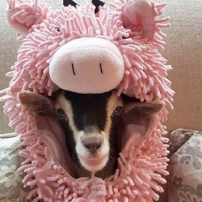Полли в оригинальном костюме свиньи.