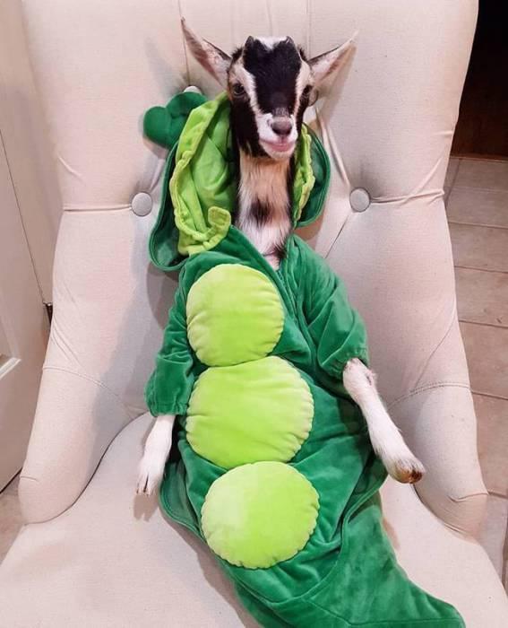 Это беспокойное животное обожает переодеваться в различные костюмы.