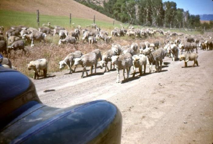 Стадо овец в пригороде Сан-Франциско.