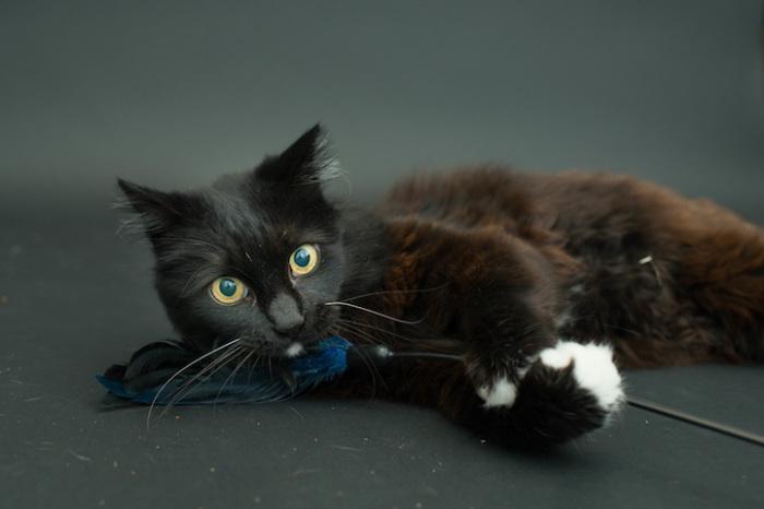 Чёрная кошка из приюта в Лос-Анджелесе.