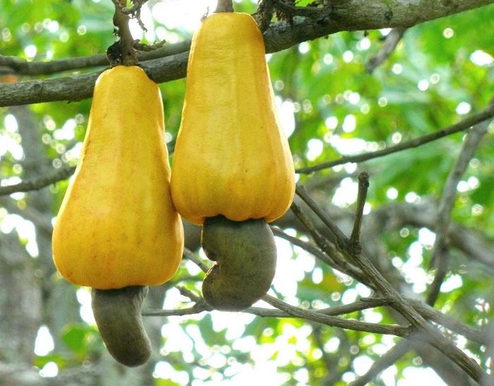 Плоды кешью состоят из яблока кешью и ореха.