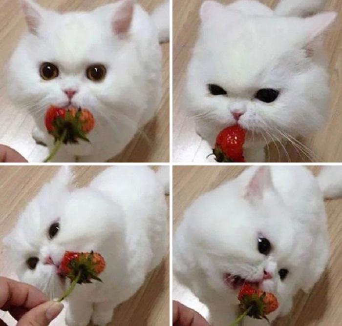 Котики тоже любят сладкую клубничку.