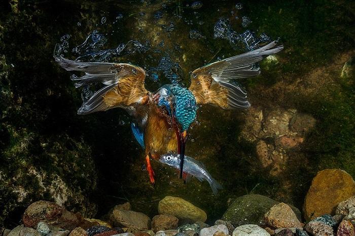 Зимородок поймал рыбу под водой в Трентино, Италия. Фотограф Якопо Риготти (Jacopo Rigotti).