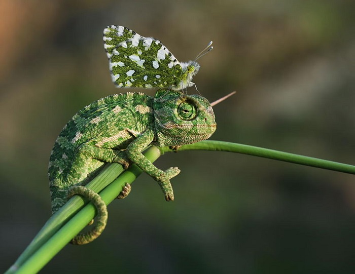 Бабочка и хамелеон подходят друг дружке даже по цвету.