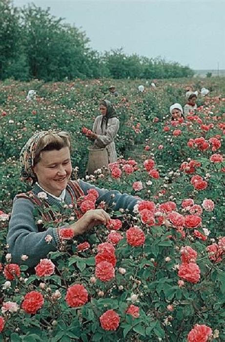 Лучшая сборщица зуйского совхоза-завода «Красная роза» Р.Дударь.