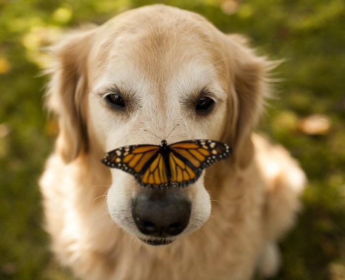 Золотистый ретривер с бабочкой на носу.