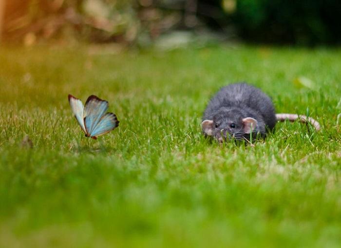 Крыса охотится за бабочкой.