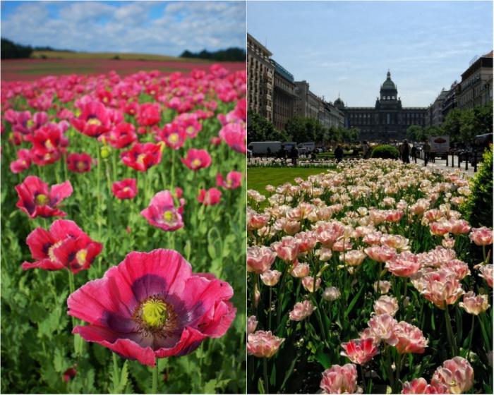 Розовые маки и тюльпаны.
