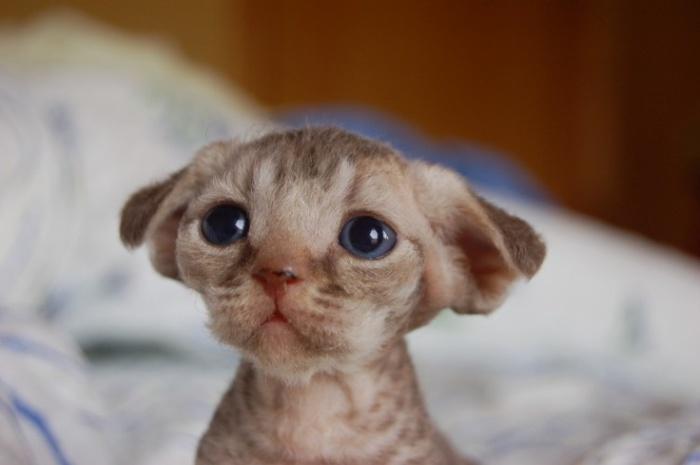 Миленький котёночек породы девон рекс.